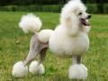 poodle-images