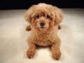 poodle-puppy