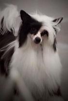 Powderpuff Chinese Crested Dog #10