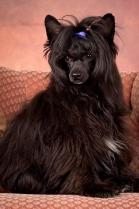 Powderpuff Chinese Crested Dog #11