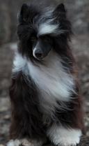 Powderpuff Chinese Crested Dog #2