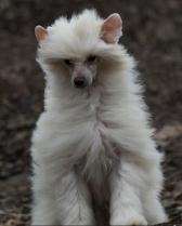 Powderpuff Chinese Crested Dog #3