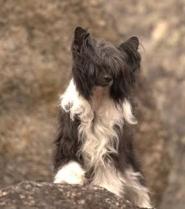 Powderpuff Chinese Crested Dog #4