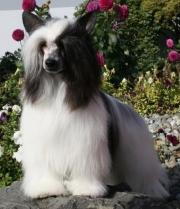 Powderpuff Chinese Crested Dog #5