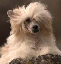 Powderpuff Chinese Crested Dog #8