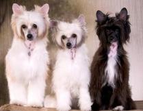 Powderpuff Chinese Crested Dog #9