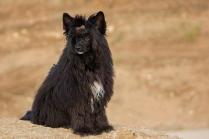 Powderpuff Chinese Crested Dog HD Photo