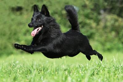 schipperke dog breed info photos doglers