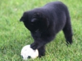 schipperke-puppy-playing