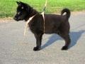schipperke-puppy