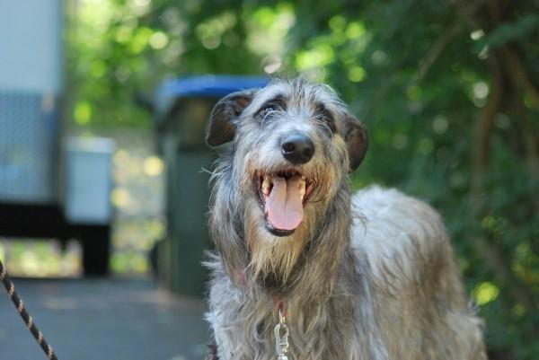 Scottish Deerhound Dog Photo