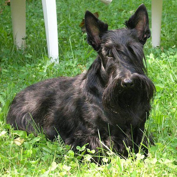 Sealyham Terrier Black