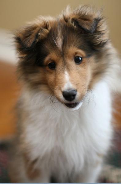Cute Shetland Sheepdog Puppy