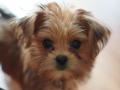 Shih Tzu Brown puppy