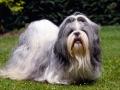 Shih Tzu Dog Pic