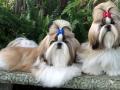 Shih Tzu Groomed Dog