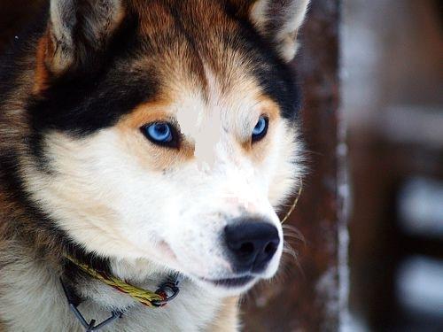 Siberian Husky Dog Pic
