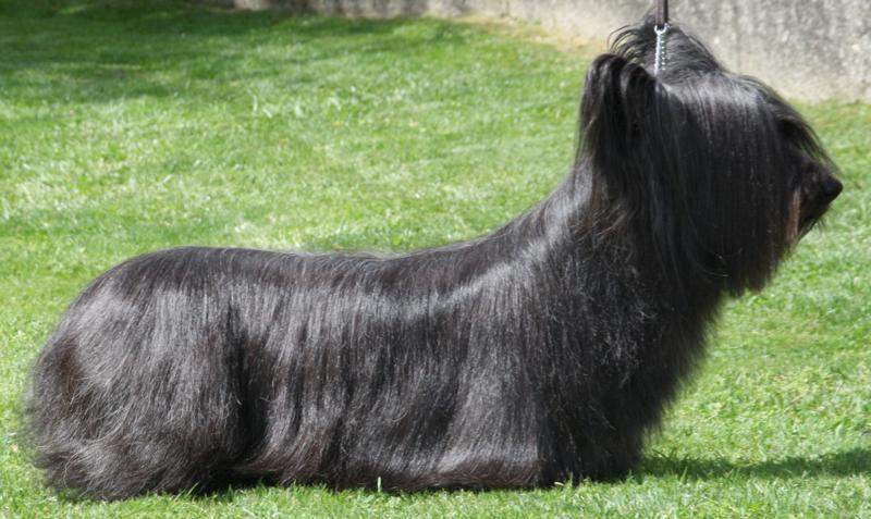 Skye Terrier black dog