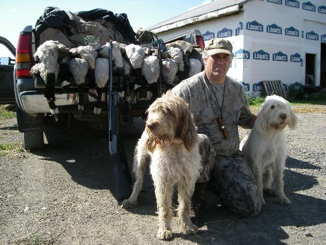 Spinone Italiano hunting dog