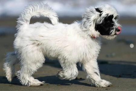 Tibetan Terrier Black and white