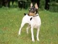 Toy Fox Terrier Dog photo