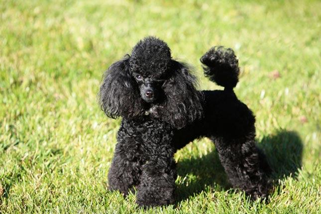 Black Toy Poodle Photo.jpg