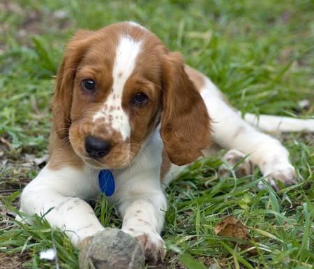 Cute Welsh Springer Spaniel Puppy.jpg