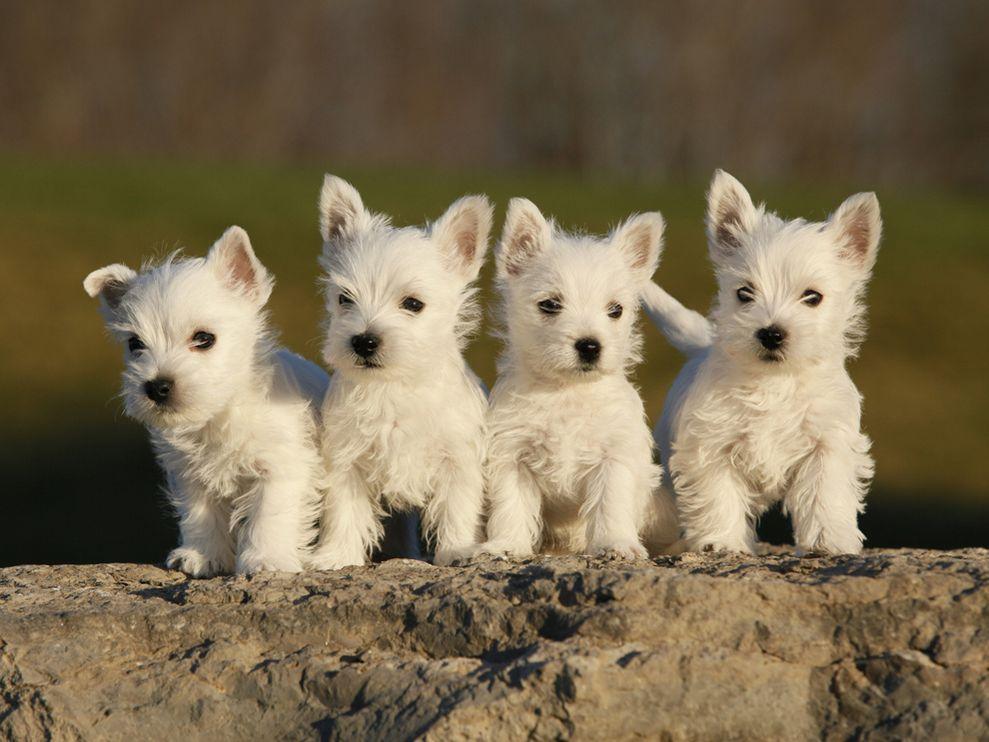 Cute West Highland White Terrier Puppies.jpg