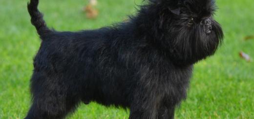 J 'n L Boston Terriers Cardigan Welsh Corgi P...