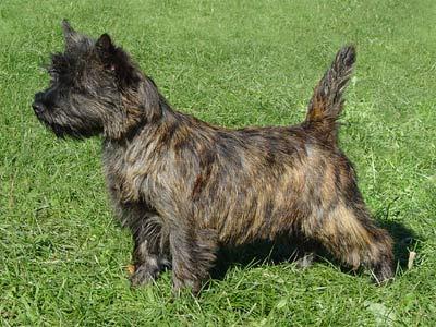 Cairn Terrier Dog Breed - Doglers
