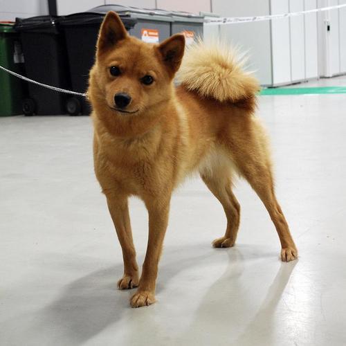 Dingo the Finnish Spitz Mix Dog Tricks - YouTube  Finnish Spitz Lab Mix