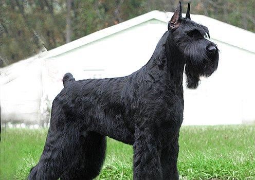 Giant Schnauzer Dog Photo Doglers
