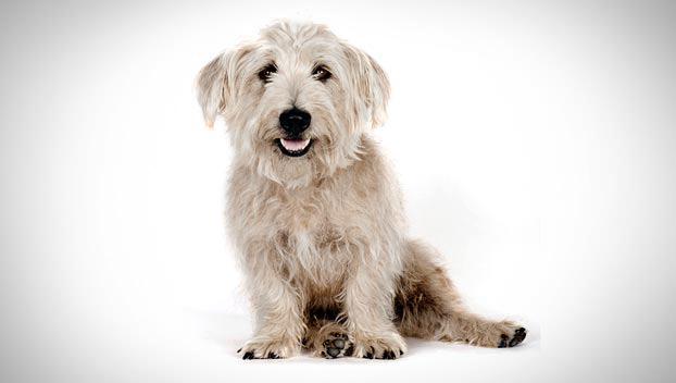 All dog breeds gt gt glen of imaal terrier dog photos