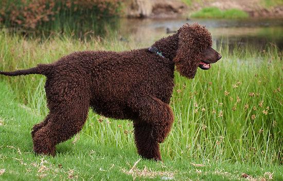 Irish Water Spaniel Dog Breed - Doglers