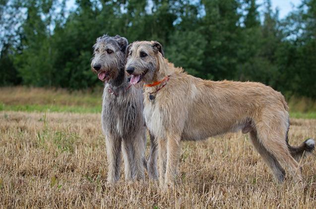 12Irish-Wolfhound-Dog ...