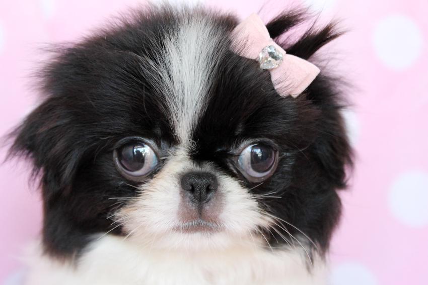 Japanese Chin Dog Photos - Doglers