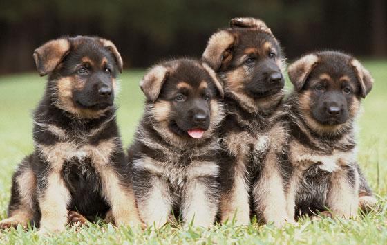 cute german shepherd puppies doglers. Black Bedroom Furniture Sets. Home Design Ideas