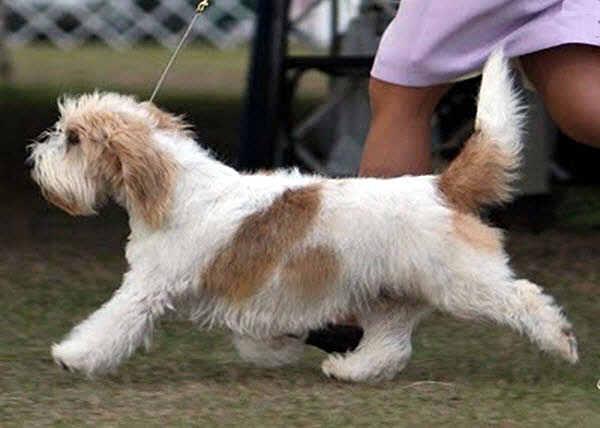 Petit basset griffon vendeen dog pic doglers - Petit basset hound angers ...