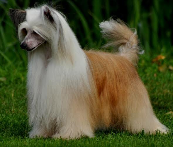 Powderpuff Chinese Crested Dog Photos