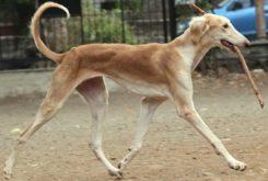Indian Dog Breeds Names Photos Information Doglers